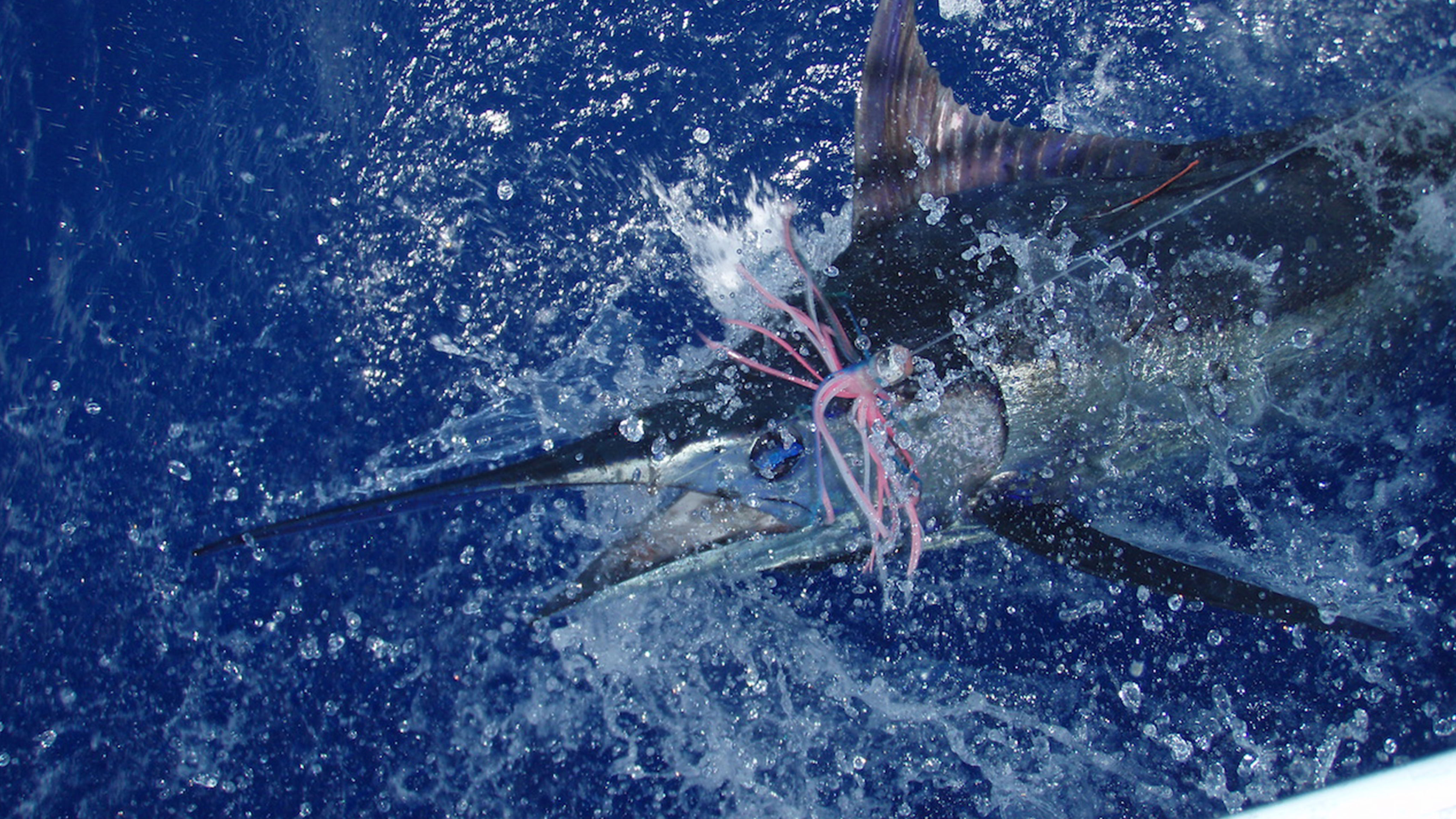 Regarded as one of the best Blue Marlin Fisheries in the World